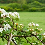 Hawthorn the herald of May!